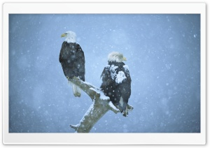 Bald Eagles In Falling Snow...