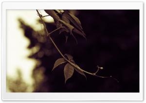 Ivy Twig