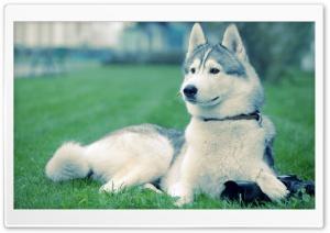 Husky On The Grass