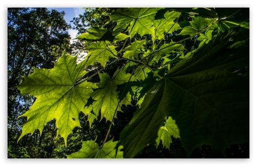 Download Summer leaves. UltraHD Wallpaper