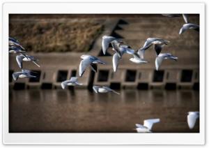 Gulls, Japan