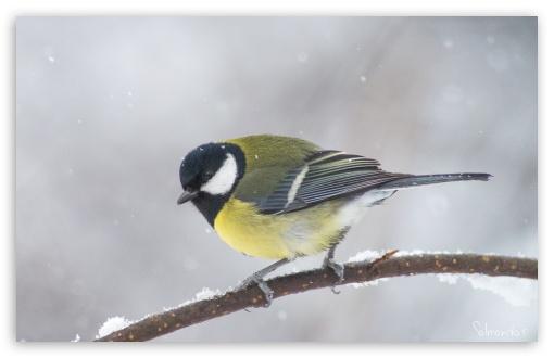 Download Great Tit In A Snowfall UltraHD Wallpaper