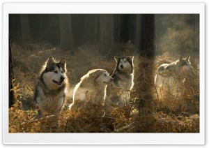 Huskies Group In The Forest