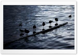 Birds. Lake Titicaca, Bolivia HD