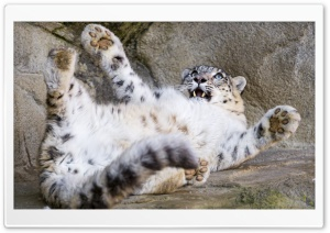 Big Baby Snow Leopard Playful...