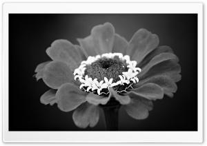 White Crown Flower
