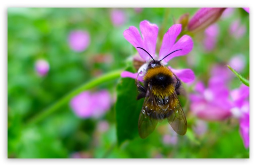 Download Bumblebee Collects Nectar UltraHD Wallpaper