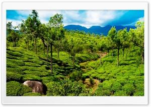Green tea field, Kerala, India
