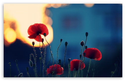 Download Poppies In The Sunset UltraHD Wallpaper