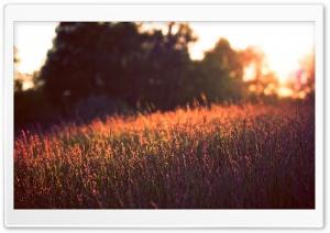 Tall Grass, Sunset