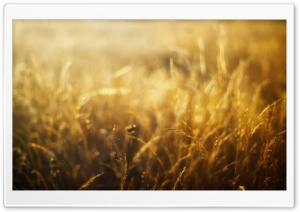 Golden Field