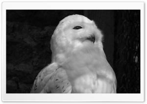White Owl Black and White