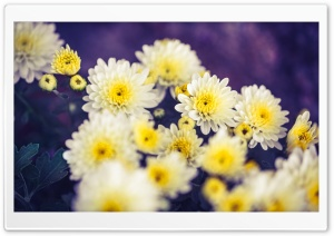 Autumn, Yellow Mums Flowers