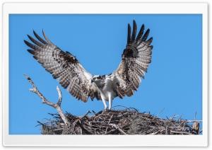 Osprey Bird Nest