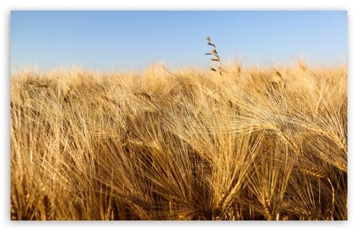 Download Wheat Field Ready For Harvesting Under Blue Sky UltraHD Wallpaper
