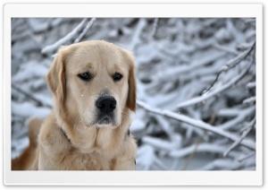 Labrador Retriever, Winter