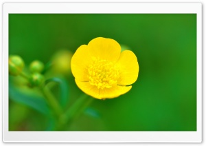 Buttercup Flower Macro,...
