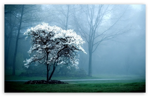 Download White Magnolia Tree UltraHD Wallpaper