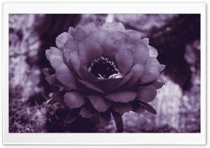 Purple Cactus Blossom