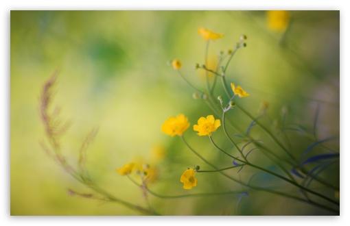 Download Buttercups Flowers UltraHD Wallpaper