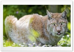 Beautiful Lynx female lying...