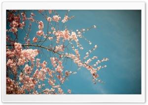 Blossom Tree, Spring