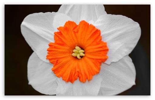Download Daffodil UltraHD Wallpaper
