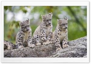 Cute Snow Leopard Cubs Wild...