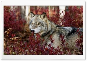 Wolf, Autumn