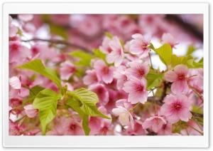 Pink Sakura Bloom