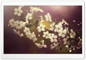 Cherry Plum Flowers Springtime