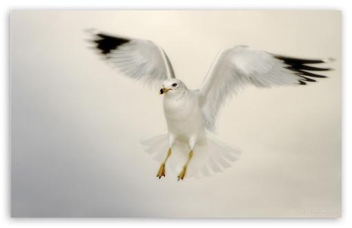 Download White Seagull Landing UltraHD Wallpaper