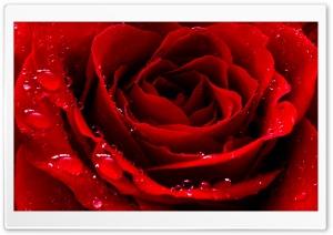 Red Love Rose