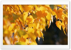 Beautiful Yellow Leves