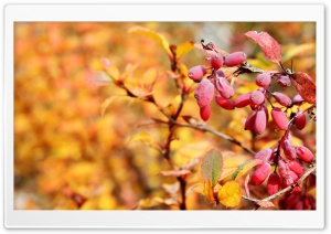 Autumn Red Fruits