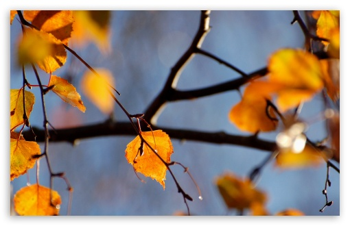 Download Birch Tree, Autumn UltraHD Wallpaper