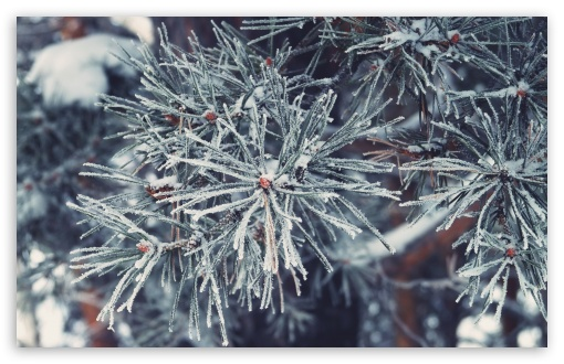 Download Frosted Pine Needles, Winter UltraHD Wallpaper