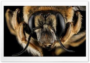 Anthidium Manicatum Bee Macro...