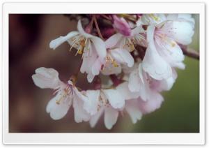 Bundle Of Cherry Flowers