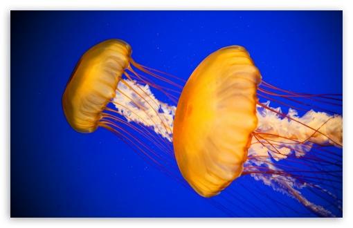 Download Atlantic Sea Nettle Jellyfish UltraHD Wallpaper