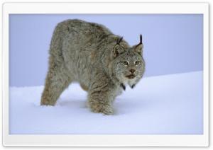 Stalking Canada Lynx Idaho