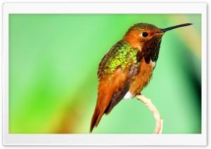 Hummingbird Iridescent Feathers