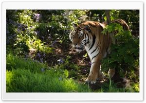 Wild Tiger Animal