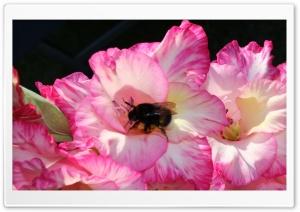 Humble Bi in Flower 1