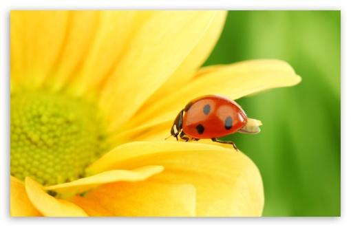 Download Ladybug On Yellow Flower, Macro UltraHD Wallpaper