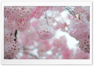Cherry Blossom Depth of Field