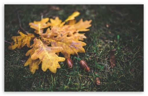 Download Yellow Leaves and Acorns UltraHD Wallpaper
