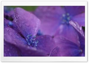 Purple Hydrangea Flower Macro