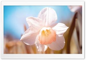 White Daffodil Flower Macro