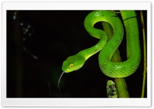 Green large eyed Pit Viper...